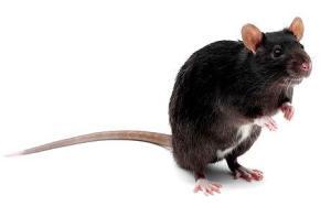 p_pet-rat_1577393c